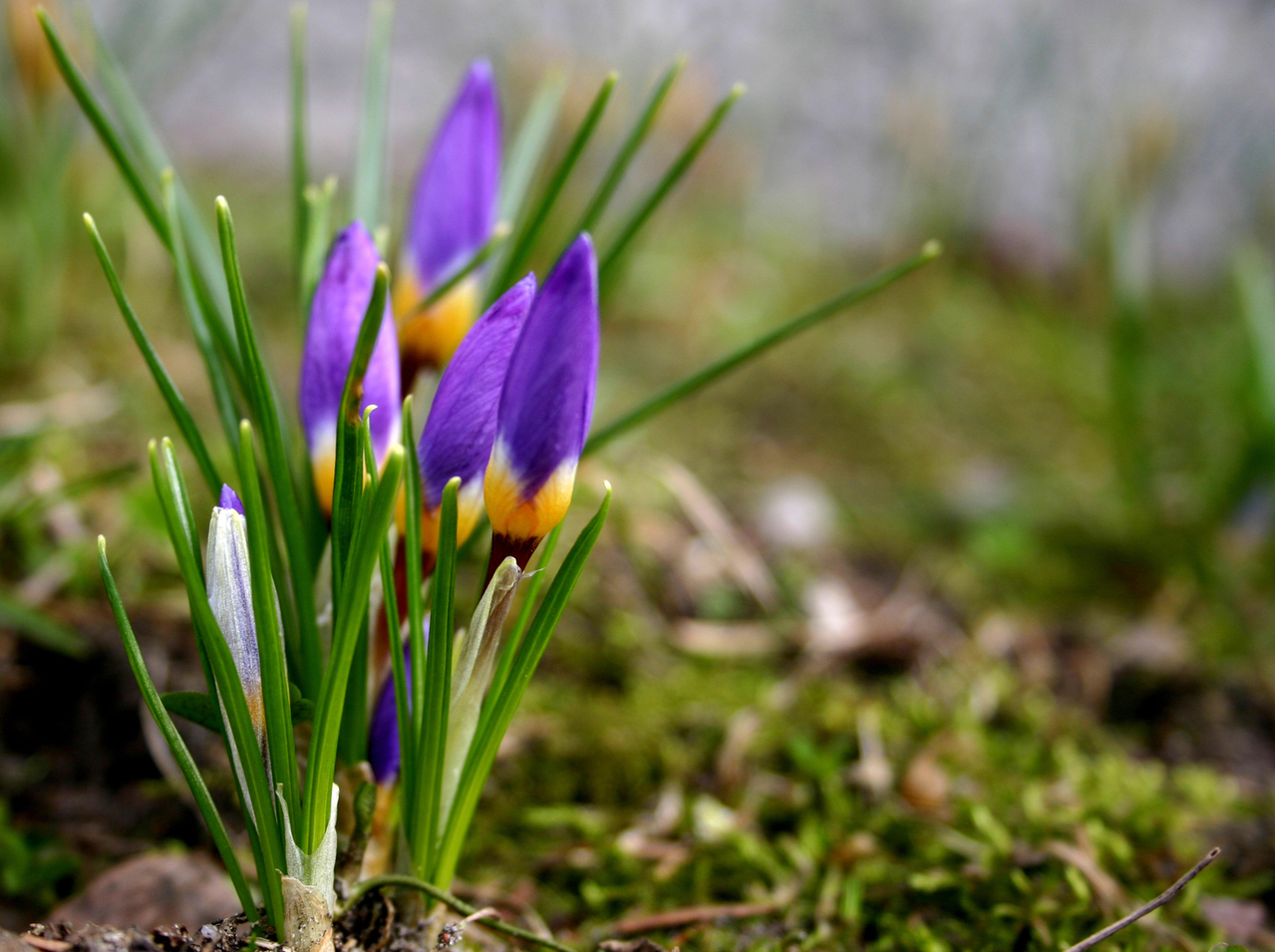 Early crocus are a harbinger of Springtime in the Northeast.